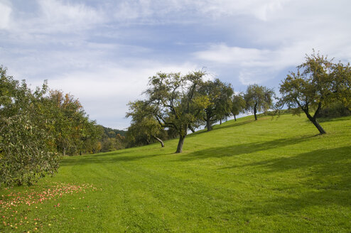 Germany, Baden Württemberg, Apple trees in Orchard - SMF00355
