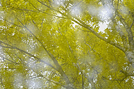 Birch tree (Betula), close-up - SMF00352