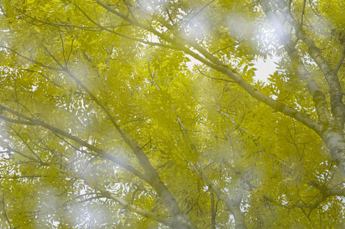 Birch tree (Betula), close-up - SMF00352