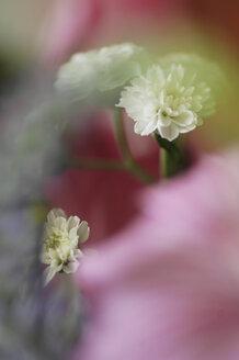 White pinks, close up - 00473LR-U