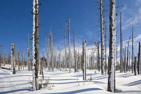 Germany, Bavarian Forest, Lusen, Snowscape, Forest dieback - FOF01188