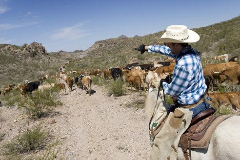 USA, Texas, Dallas, Cowboy and Texas Longhorn Cattles (Bos taurus) - PK00268