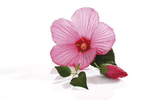 Rose mallow (Hibiscus moscheutos) - 10106CS-U