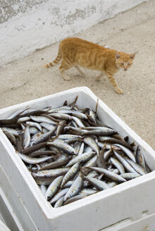 Greece, Cat looking at crate with Sardines - MUF00787