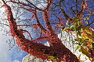 Tree overgrown with Virginia creeper (Parthenocissus tricus), low angle view - MBF00919
