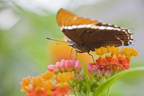 Butterfly (Spiroeta epaphus) sitting on flower - FOF01363