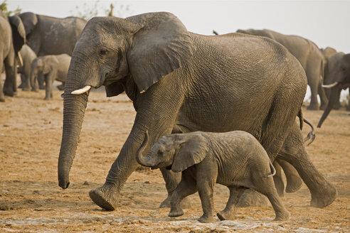 Africa, Botswana, Herd of African Elephants (Loxodonta africana) - FOF01432