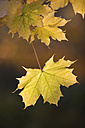Maple leaves in autumn, close up - WWF00799