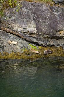Norway, Fjord Norway, Seals on shore - MR01135