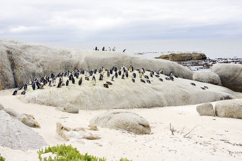 Africa, Cape Town, Boulder Beach, Jackass penguins (Speniscus demersus) along the shoreline - RRF00169