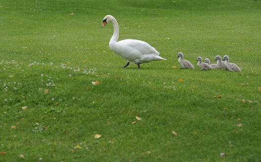 Mute swan (Cygnus olor) with chicks on meadow - SMF00436