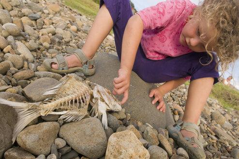 New Zealand, Coromandel, Amodeo Bay, Girl (4-5) examining fish skeleton - SHF00398