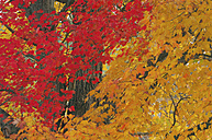USA, New Hampshire, Maple trees ((Acer spec.) in autumn - RUEF00184