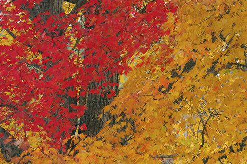USA, New Hampshire, Maple trees ((Acer spec.) in autumn - RUEF00184