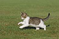 Germany, Bavaria, Kitten playing in meadow, side view - RUEF00172