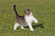 Germany, Bavaria, Kitten playing in meadow - RUEF00163