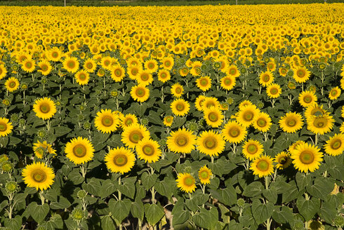 France, Provence, Rognes, field of sunflowers - PSF00230