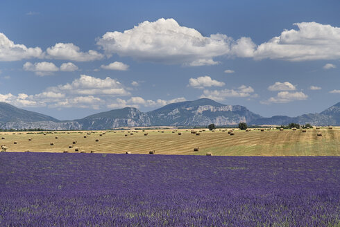 France, Provence, Lavender fields - PSF00227