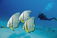 Egypt, Red Sea, Scuba diver with Circular batfish (Platax orbicularis) - GNF01152