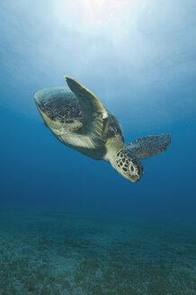 Egypt, Red Sea, Green sea turtle (Chelonia mydas) - GNF01122