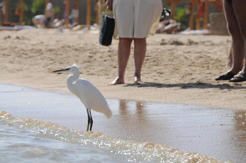 Egypt, Hurghada, Median Egret (Egretta intermedia) on beach, persons in background - GNF01098