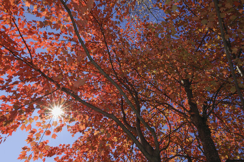 USA, New England, Maple tree, autumn colours - RUEF00222