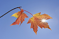 USA, New England, Maple leaves against blue sky - RUEF00219