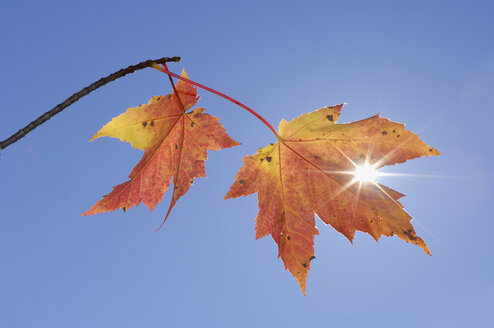 USA, New England, Maple leaves against blue sky - RUEF00219