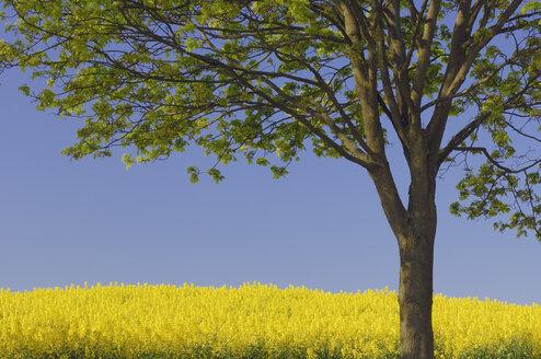 Germany, Mecklenburg-Western Pomerania, Tree in rape field - RUEF00255