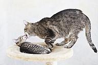 Domestic cats, Cat licking face of kitten - 11329CS-U