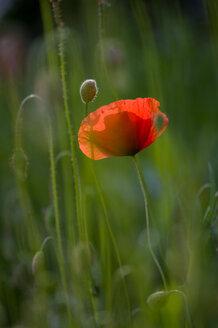Germany, Baden Württemberg, Poppy (Papaver), close-up - SMF00476