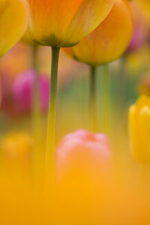 Germany, Baden Württemberg, Tulips, close-up - SMF00470