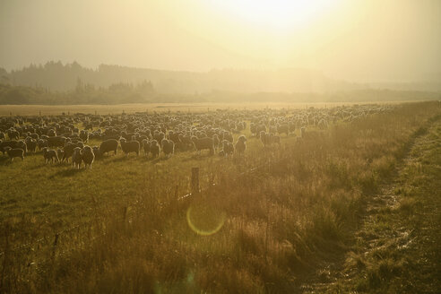 New Zealand, Flock of sheep at sunset light - AC00032
