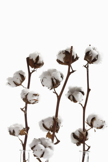 Cotton plant (Gossypium), close-up - 11678CS-U