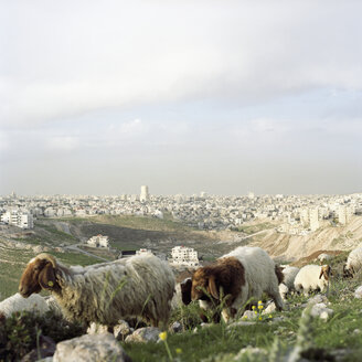 Jordan, Amman, View of the town, flock of sheep in foreground, close-up - PM00794