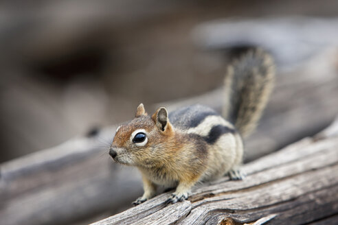USA, Yellowstone Park, Chipmunk (Tamias) on tree trunk - FOF01847