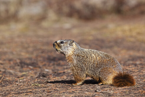 USA, Yellowstone Park, Groundhog (Marmota monax), close-up - FOF01844
