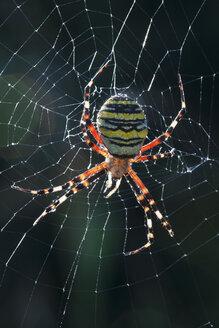 Germany, Bavaria, Wasp Spider (Argiope bruennichi), close-up - FOF01994