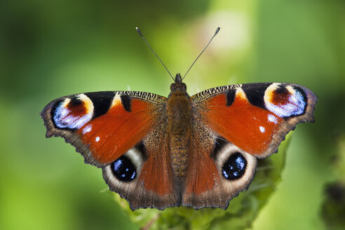 Germany, Bavaria, Peacock butterfly (Inachis io) on leaf, close-up - FOF01991