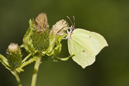 Germany, Bavaria,  Brimstone butterfly (Gonepteryx rhamni), close-up - FOF01988