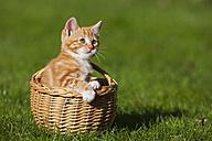Germany, Bavaria, Ginger kitten sitting in basket, outdoors - FOF01979