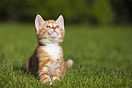 Germany, Bavaria, Ginger kitten sitting in grass, looking up, portrait - FOF01964
