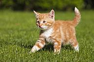 Germany, Bavaria, Ginger kitten outdoors - FOF01961