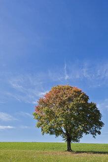 Germany, Bavaria, Maple tree in field - FOF02026