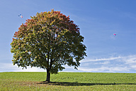 Germany, Bavaria, Maple tree in field, Paraglider in background - FOF02023