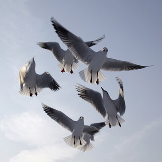 Germany, Hamburg, Seagulls in flight, low angle view - TLF00403