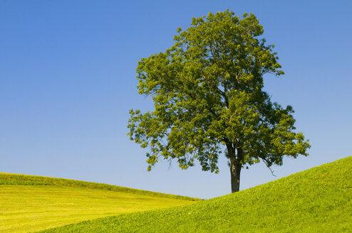 Germany, Bavaria, Allgäu, Tree in landscape - SMF00549