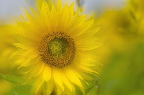Germany, Sunflower (Helianthus), close-up - SMF00513
