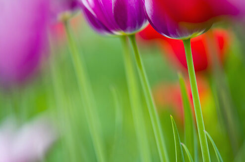 Germany, Tulips (Tulipa), close-up - SMF00510