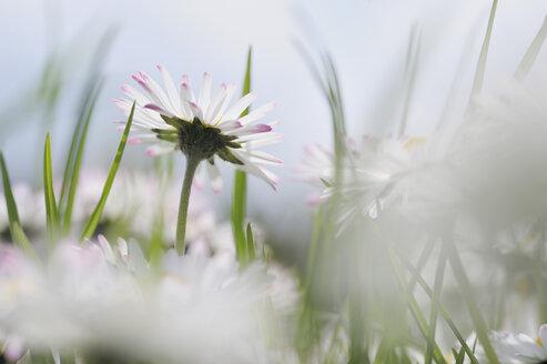 Germany, Bavaria, Daisies (Bellis perennis), close-up - RUEF00333